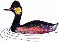 Поганка черношейная podiceps nigricollis c l brehm